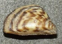 Двустворчатые моллюски Дрейссена речная