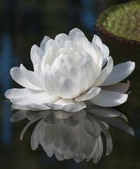 Фантастические цветки Виктории амазонской